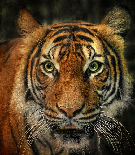 Tiger von