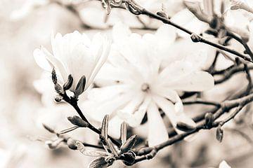 White magnolia von Nannie van der Wal