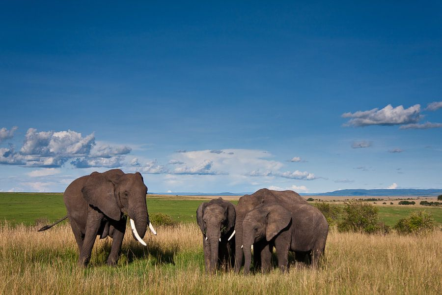 Olifanten staan op uitgestrekte vlakte met blauwe wolkenlucht