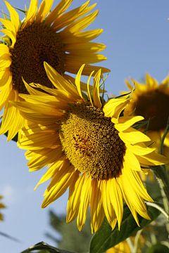 Sonnenblume von Christel Smits