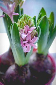Hyacint von Linda Kooiman