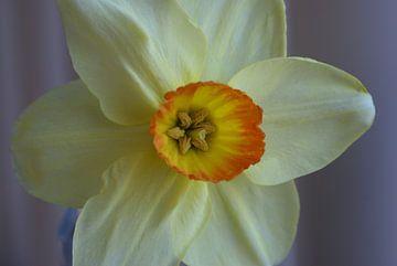 De Narcis.
