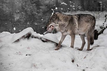 Een wolf op een achtergrond van sneeuw met een stuk vlees, een roofdier in de winter. van Michael Semenov