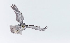Vliegende Sperweruil  (Surnia ulula)