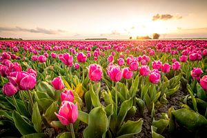 Bloeiende tulpen tijdens zonsondergang in Flevoland