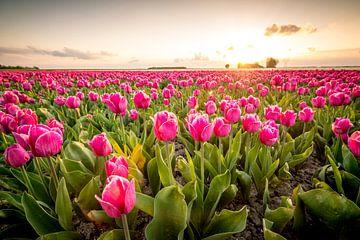 Felder der blühenden roten Tulpen während des Sonnenuntergangs in Holland von Sjoerd van der Wal