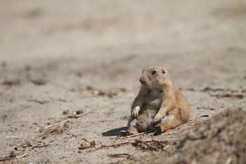 Prairiehond zittend in het zand  van Malu de Jong