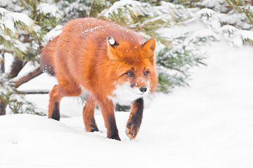 Pepervos in het bos. Snuifjes die er prachtig uitzien Mooie rode pluizige vos in de sneeuw tijdens e van Michael Semenov