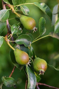 drei unreife Birnen hängen an einem Birnbaum von Ulrike Leone