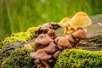 Bonte verzameling paddenstoelen van Jorrit Eijgensteijn