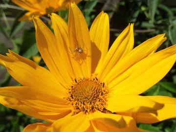 Spin op gele bloem von Margriet Adema