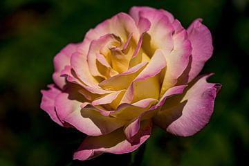 Roze met gele roos