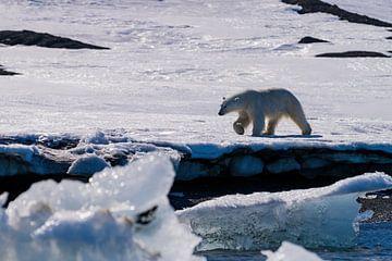 De machtige ijsbeer van Merijn Loch