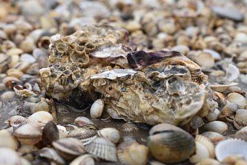Große Muschel am Strand von Philipp Klassen