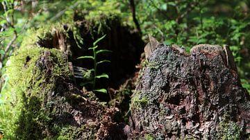 Baumstamm mit Pflanze von Nicole Van Stokkum