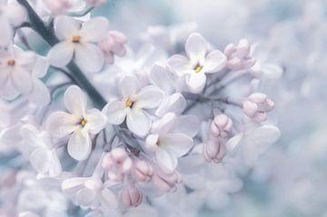 Lilacs sur Violetta Honkisz