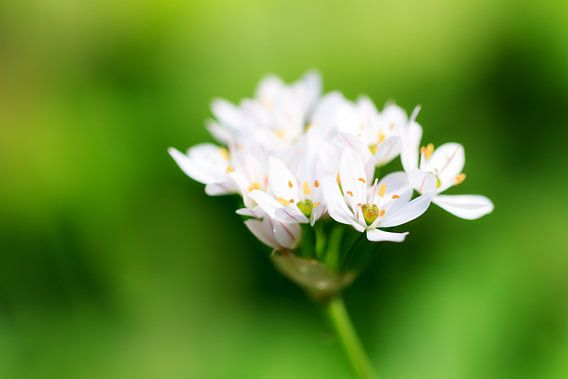Witte bloemetjes met groene achtergrond van Dennis van de Water