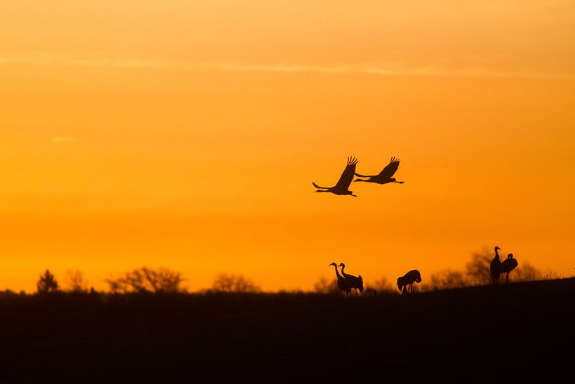 Kraanvogel in de vroege ochtendzon. van Alex Roetemeijer