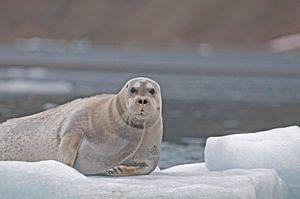 Baardrob  op ijsschots van
