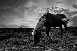 Wildpferde, schwarz und weiß von Nynke Altenburg