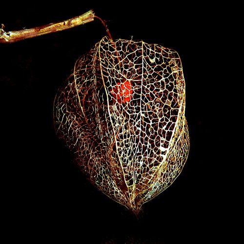 Lampionplant, zaaddoos van kant