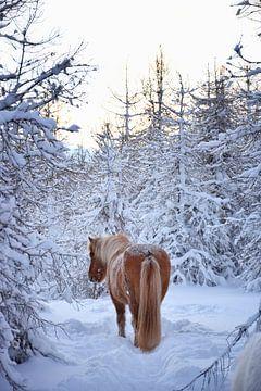 IJslands paard in de sneeuw in het bos