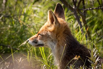 Rode vos close-up bij laagstaande avondzon van Marcel Alsemgeest