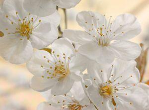 Kirschblüten beige van