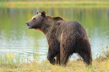 Bruine beer bij het bosmeer. von Alex Roetemeijer