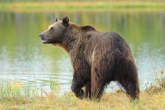 Bruine beer bij het bosmeer.