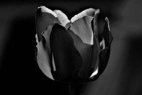 Zwarte tulp van
