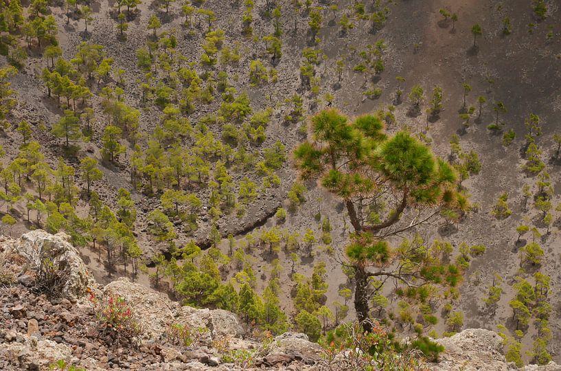 Dennenbomen in een vulkaankrater van Carola van Rooy
