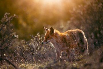 Rode vos in mooi avondlicht van Björn van den Berg