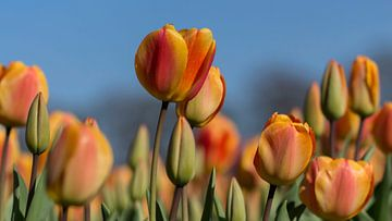 Oranje boven van D. Henriquez