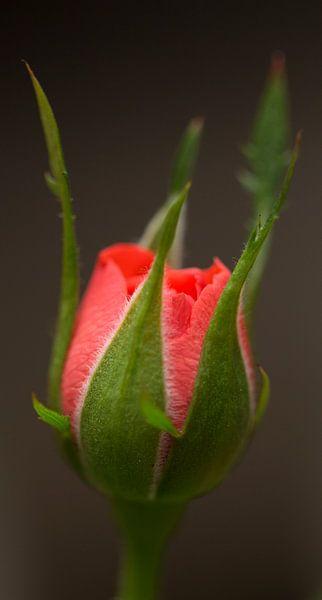 Mini Roos van Kimberly van Aalten