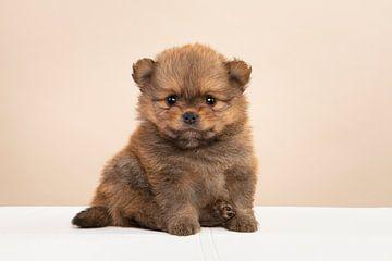Pomeriaan puppy van Elles Rijsdijk