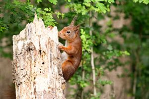 Klimmende eekhoorn