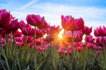 Tulpen met de zon van Wilco Bos