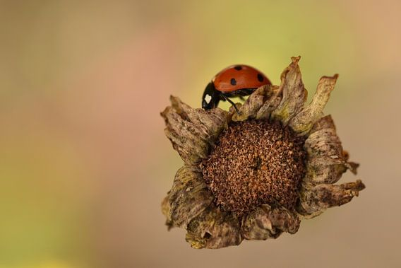 Lieveheersbeestje op uitgedroogde bloem