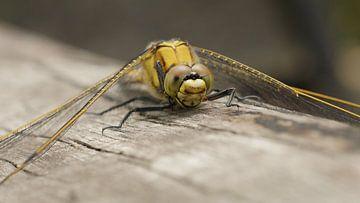 Oever Libelle - Dragonfly - Libellule - Libelle  van