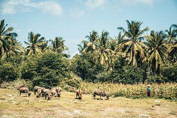 Boer met koeien op het eiland Lombok, Indonesië van Expeditie Aardbol