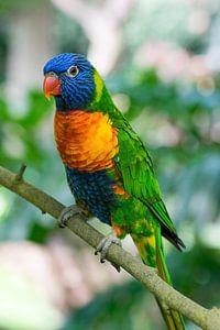 Papegaai van