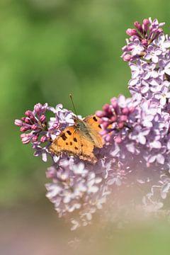 Vlinder (grote vos) op bloemen | Natuurfoto in Zuid-Kennemerland