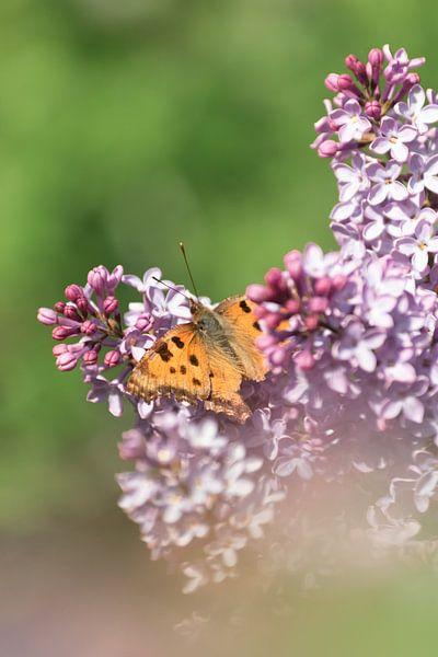 Vlinder (grote vos) op bloemen | Natuurfoto in Zuid-Kennemerland van Dylan gaat naar buiten