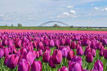 Paarse tulpen in Nieuw-Vossemeer von Kim de Been