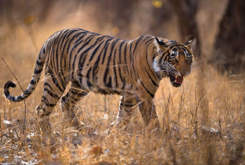 A young tiger calling out its sibling van Koen Hoekemeijer