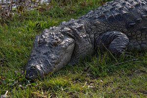 Krokodil van heel dichtbij van