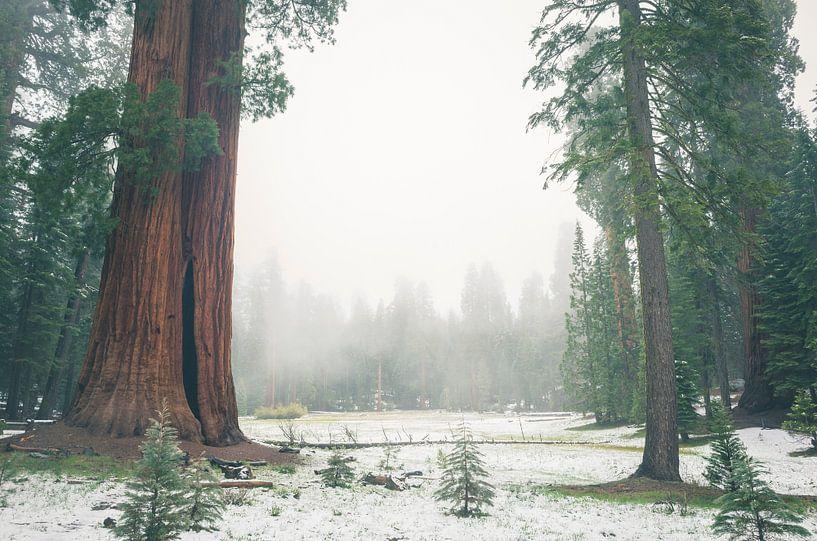 """""""Ed by Ned"""" tree, Sequoia National Park von Jasper van der Meij"""