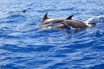 Dolfijnen van Elly Damen