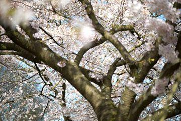 Sakura-Märchen von Remke Spijkers